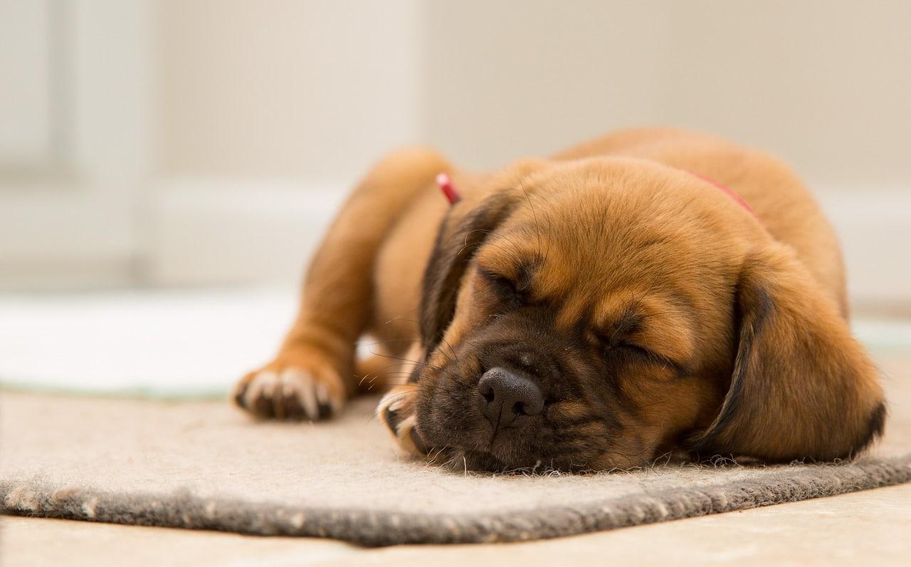 pooch sleeping